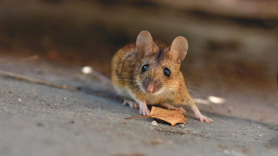 Myszy w domu mogą sprawić wiele problemów - Capri23auto/pixabay.com
