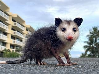 Why Did The Possum Cross The Road