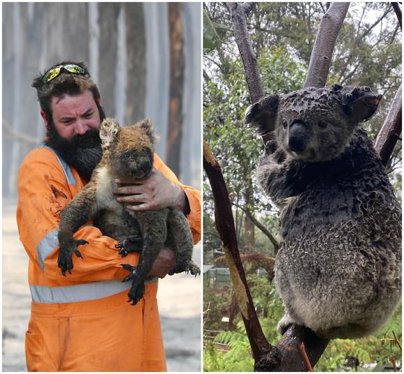 Koala povređena u požarima i koala tokom poplava u parku reptila u Novom Južnom Velsu