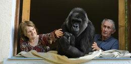 Francuzi mieszkają z gorylem