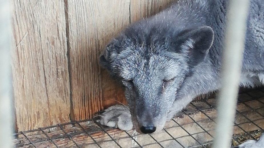 Interwencja na fermie lisów pod Pabianicami. Zwierzęta żyły w złych warunkach