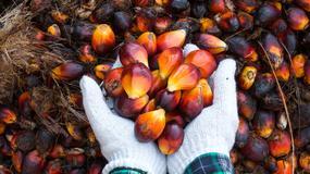 Olej palmowy a orangutany. Jak jedno prowadzi do śmierci drugiego