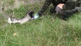 Borsuk uwięziony w puszce. Z pomocą ruszył leśniczy