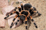 prirodnjacki muzej Tarantula