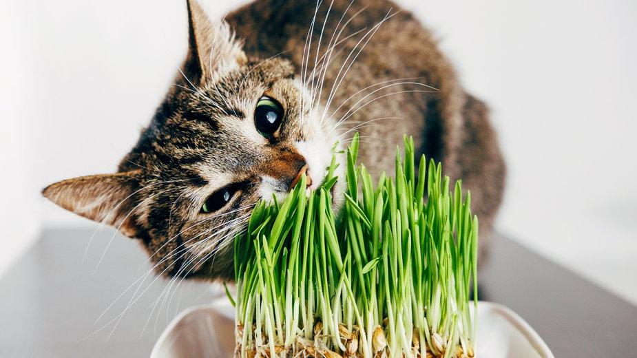 Dlaczego kot zjada trawę? - denisval/stock.adobe.com