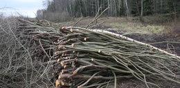 Pijani drwale wycinali lasy