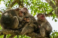 rezus makaki majmuni