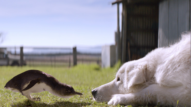 O psie, który uratował stado australijskich pingwinów