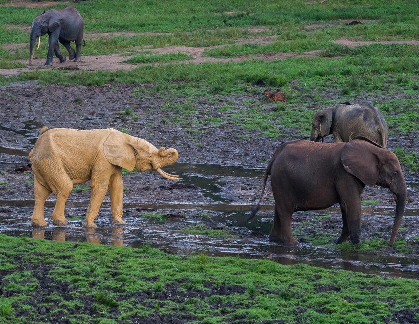 Weterynarz robił zdjęcia słoniom. Nagle zobaczył to!