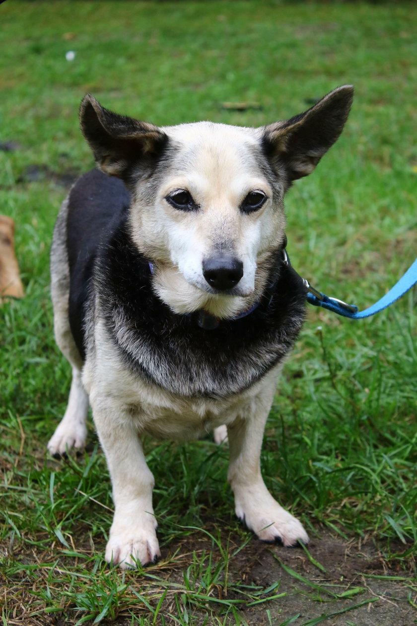 Pies Kinio (11 l.)