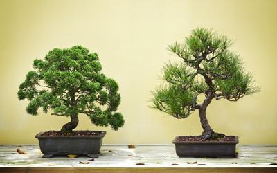 Drzewko Bonsai Co To Za Roślina I Jak Ją Pielęgnować