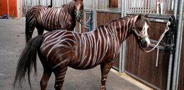 Niemcy malują konie na zebry