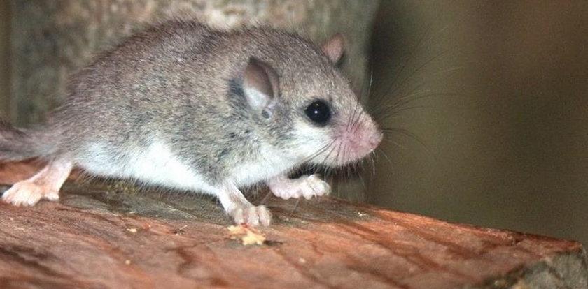 Myślisz, że to zwykła mysz? Błąd! To pędzlogon z Afryki