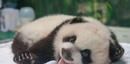 Trojaczki pandy skończyły 100 dni
