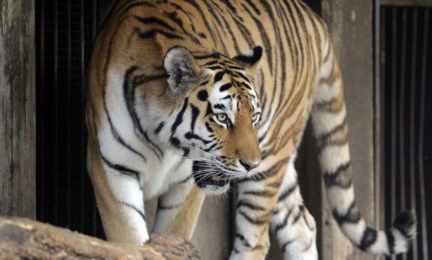 Kobieta rzuciła się na tygrysa
