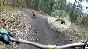 Niedźwiedź wystraszył rowerzystę w lesie niedaleko granicy z Polską