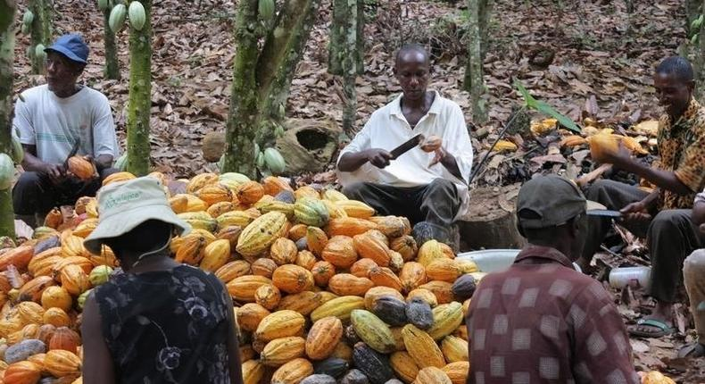 Farmers break cocoa pods in Ghana's eastern cocoa town of Akim Akooko September 6, 2012. REUTERS/Kwasi Kpodo