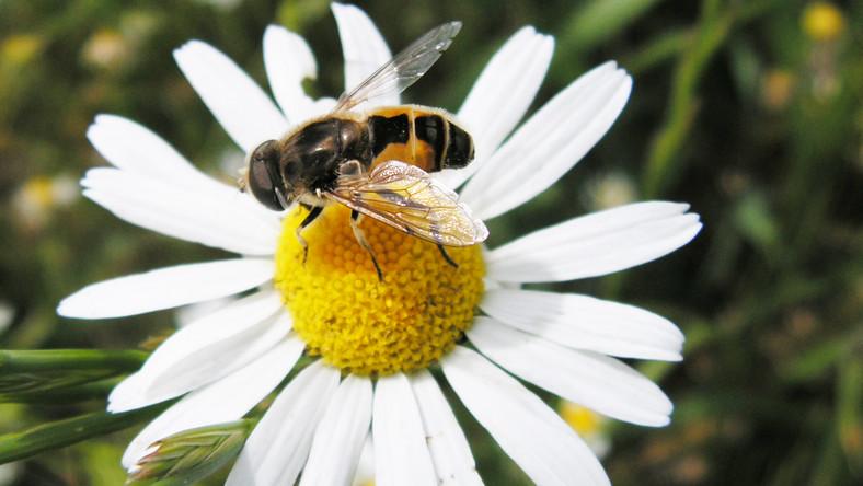 Anglicy ruszyli na odsiecz pszczołom