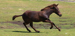 Nie mylisz się. Ten koń to zebra