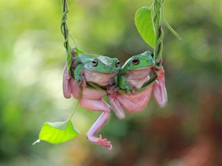 Two Dumpy frogs on a plant, Indonesia