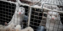 Na fermie norek we Francji potwierdzono Covid-19. Tysiąc zwierząt zostanie wybitych