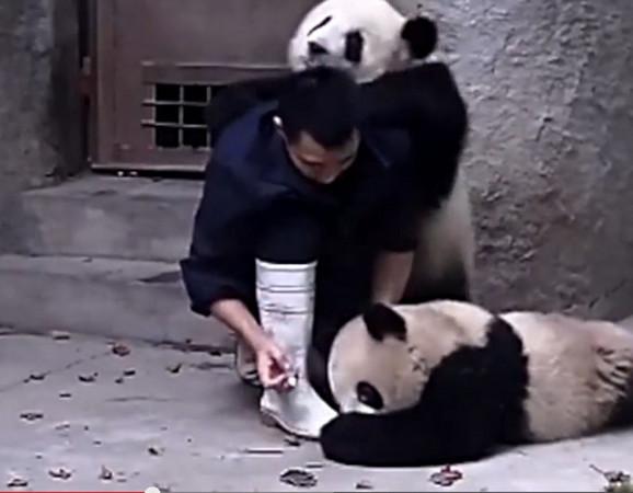 Crno-bele šaljivdžije:Pande se igraju sa radnikom zoološkog vrta