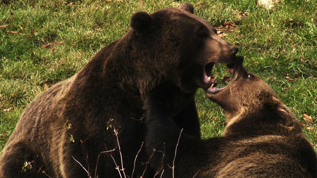 Niedźwiedź - Władca gór