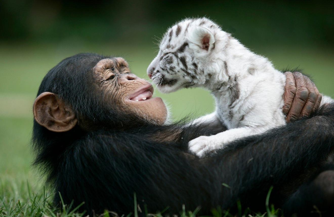 Mlala šimpanza i tigrić