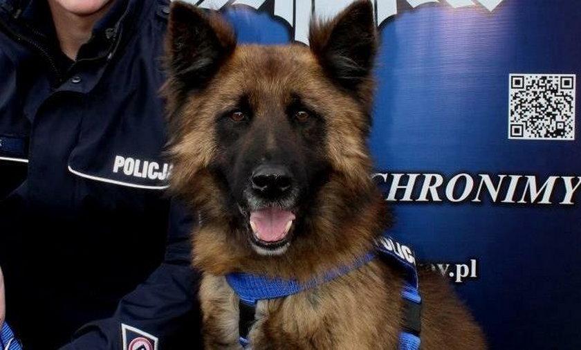 Oto prawdziwy psi bohater! Kozik uratował mężczyznę przed śmiercią