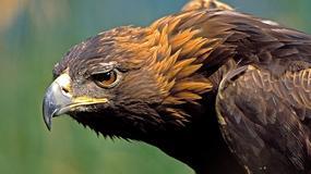 Karpaty: orły przednie rozpoczęły tokowanie
