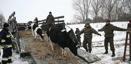 Ale historia! Saperzy uratowali krowy!