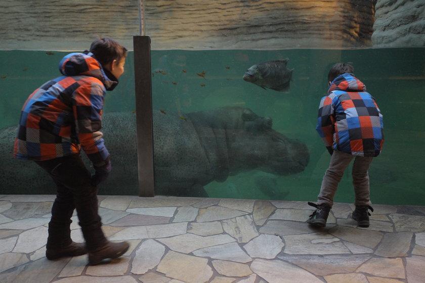 Hipopotam z warszawskiego zoo