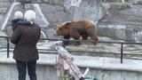 Horror w warszawskim zoo. Wpadł do wybiegu, poszarpał go niedźwiedź. Jest nagranie