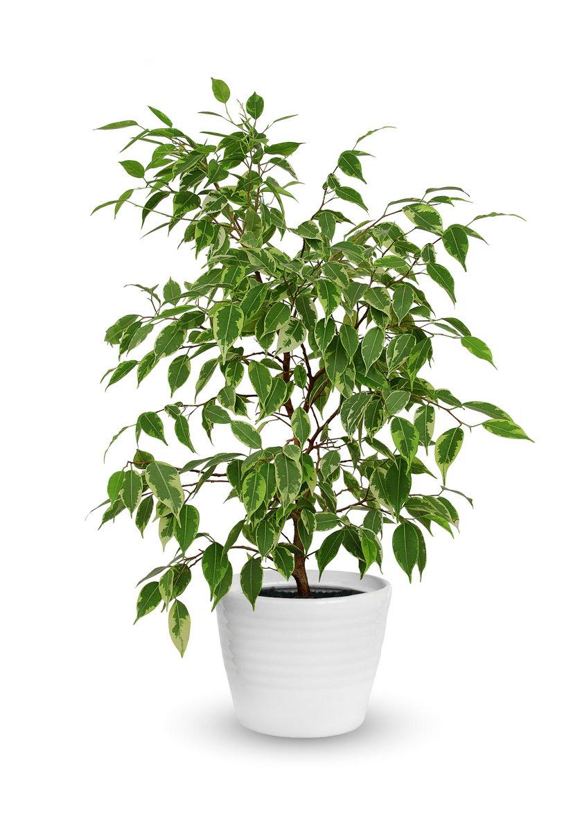 Figowiec beniamiński (Ficus benjamina)