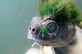 australijska kornjača