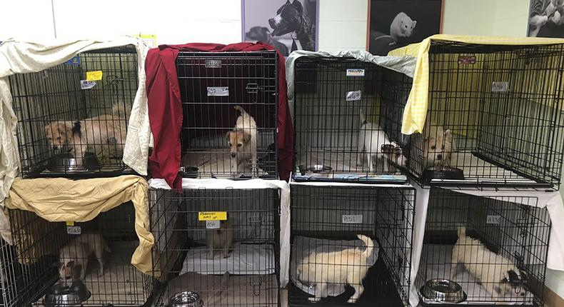 188 sickly dogs are rescued from breeders whose 'hobby turned bad'