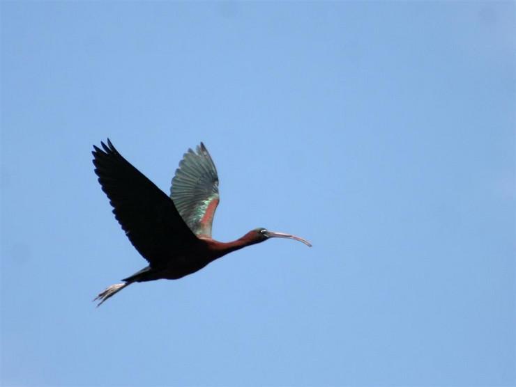Crni ibis (Plegadis falcinellus) foto Lorand Vig
