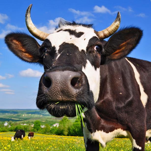 Krowa na pastwisku