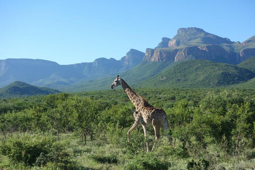 Żyrafa w Republice Południowej Afryki