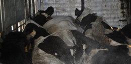 Dokąd trafiało mięso zdechłych krów?