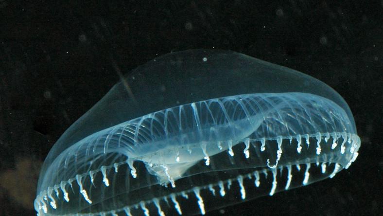 Wszystko dzięki świecącym meduzom Aequorea victoria, które żyją u wybrzeży Kalifornii
