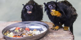 Powstał azyl dla małp w Starym Zoo