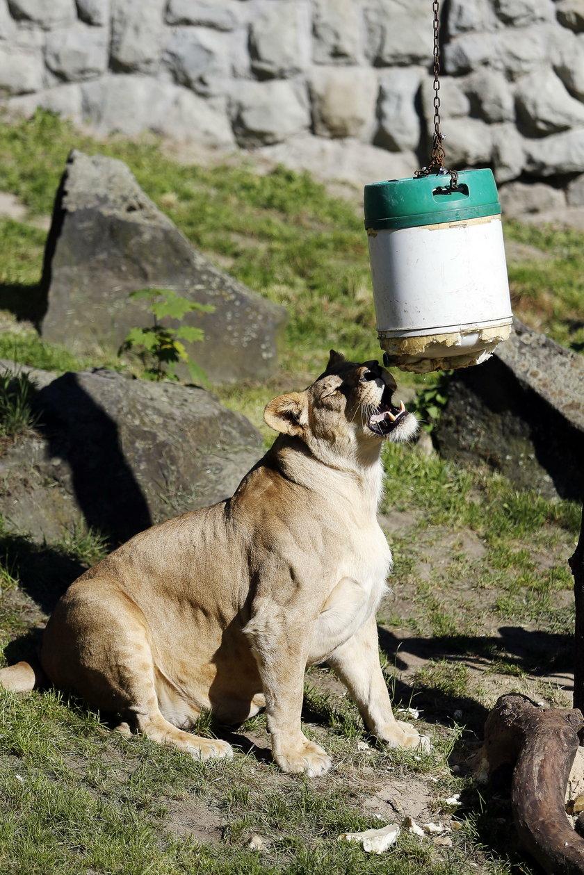 Xhorzów. Zbiórka zabawek dla zwierząt ze Śląskiego Ogrodu Zoologicznego