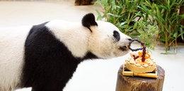 Ta panda udawała, że jest w ciąży, żeby mieć lepsze warunki