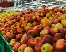 Zbiory jabłek w 2017 roku były mniejsze niż rok wcześniej