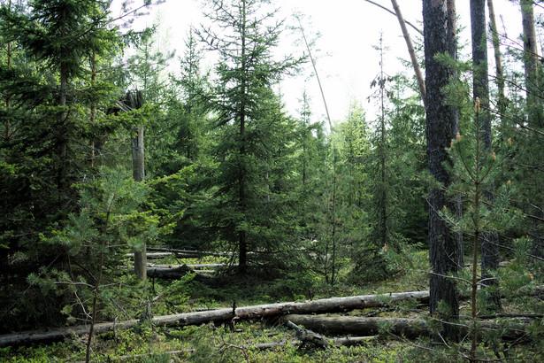 Las uszkodzony przez wiatr regeneruje się sam – z perspektywy ochrony przyrody sadzenie drzew jest zbędne, a nawet szkodliwe. Fot. M. Żmihorski.