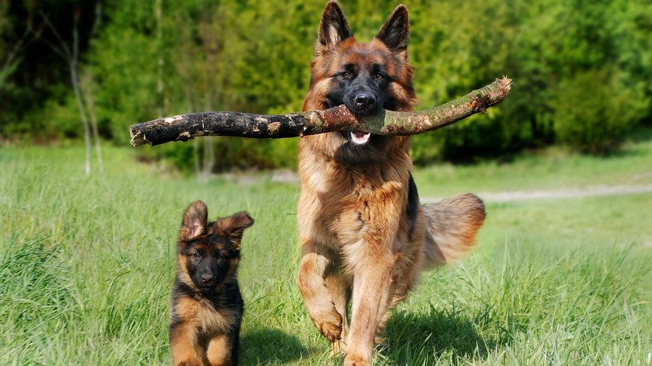 Szkolenie szczeniaka warto zacząć jak najwcześniej - AnjaGh/pixabay.com