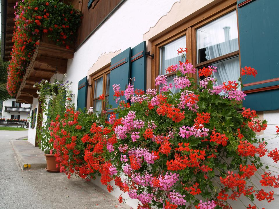 Największą  popularnością cieszą się odmiany pelargonii  bluszczolistnych, o zwisających pędach.