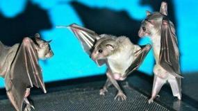 Małe tańczące nietoperze