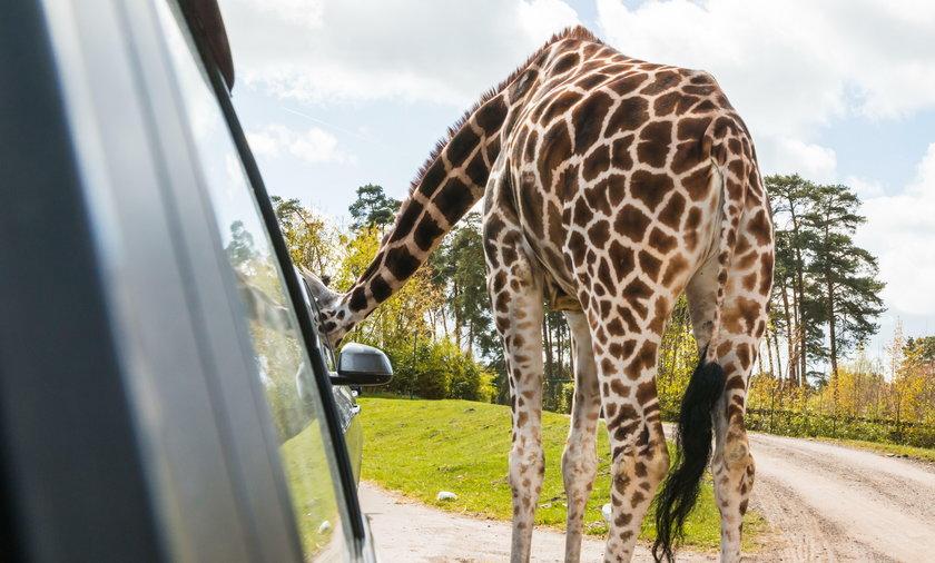 Żyrafa włożyła głowę do auta. Skończyło się strasznie